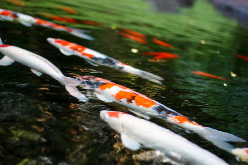 Nishikigoi ulshoots for Koi fish life span