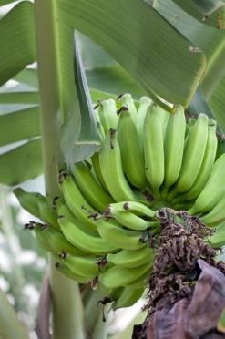 Courtyard Bananas