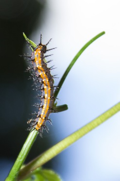 Prickly Caterpillar