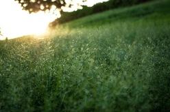 Grass at Kaka'ako Park