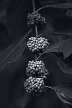 Berries - Black & White