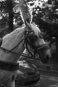 Clydesdale Horse in Central Park