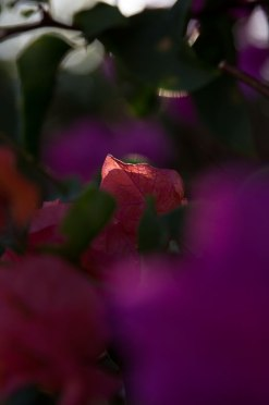 Bougainvillea in the Light