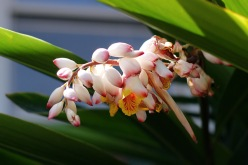 Shell ginger flowers (Alpinia zerumbet)