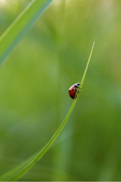 Image of Lady Bug on a Stalk of Grass
