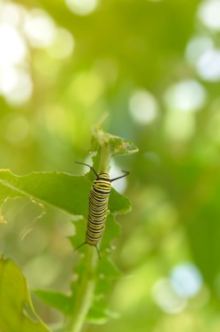 Monarch Caterpillar Going Toward the Light