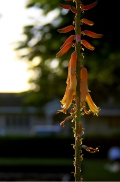 Sunset on Aloe Vera Flowers