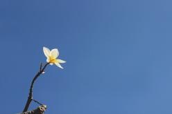 Plumeria and Sky